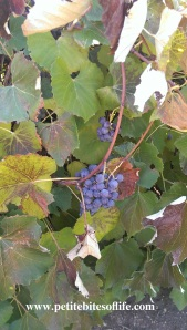 grapes_on_the_vine